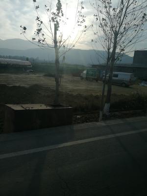 四川凉山西昌市绿甘蓝 2.0~2.5斤