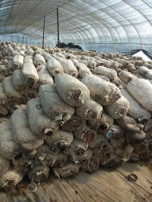 河南南阳新野县蘑菇