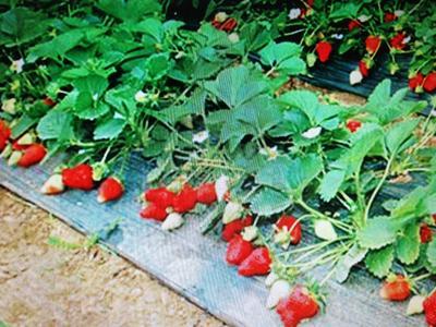 河南漯河临颍县红颜草莓 20克以上