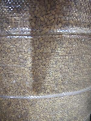 湖南省衡阳市珠晖区普通小麦