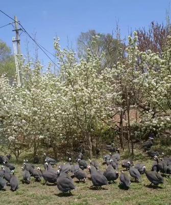 宁夏回族自治区固原市西吉县灰色珍珠鸡 2斤以下