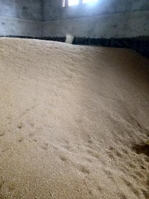 河北省沧州市东光县混合小麦