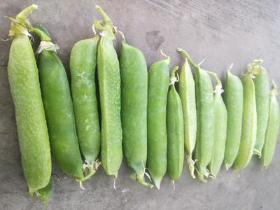 云南省丽江市华坪县甜脆豌豆 5-7cm 较饱满