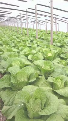 河北省保定市定州市阳春白菜 6~10斤 净菜