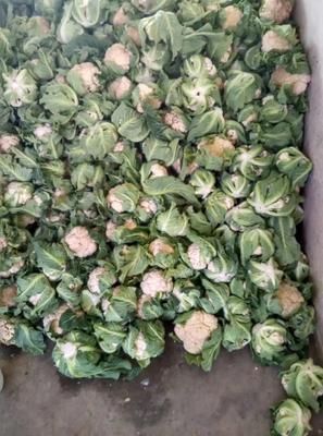 陕西省汉中市城固县白花菜花 紧密 1~2斤 乳白色