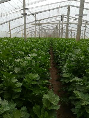陕西省西安市高陵县毛芹 55~60cm 大棚种植 1.0~1.5斤
