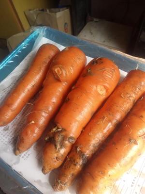河北省衡水市饶阳县三红七寸参胡萝卜 15cm以上 3两以上 4~5cm