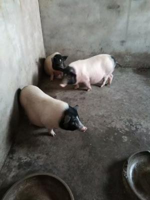 安徽省阜阳市颍州区野香猪 140斤以上