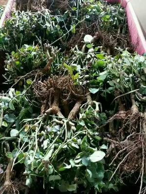 云南省昆明市呈贡区各种玫瑰老庄1到3年