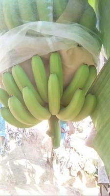 云南省西双版纳傣族自治州景洪市巴西香蕉 七成熟 40 - 50斤