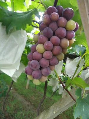 湖北省随州市随县巨峰葡萄 5%以下 1次果 2斤以上