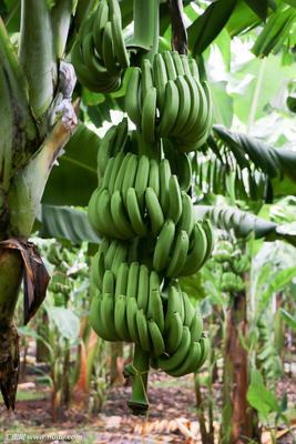 广西壮族自治区玉林市北流市威廉斯香蕉 七成熟 40 - 50斤