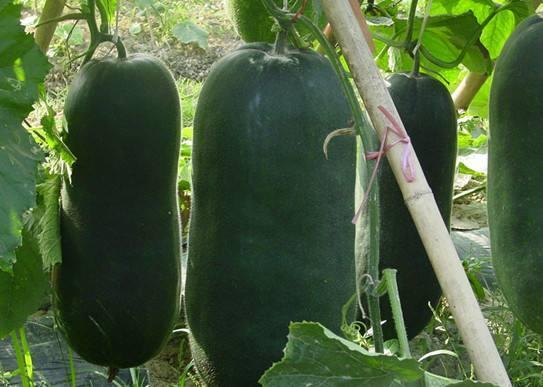 黑皮冬瓜 20斤以上 黑皮
