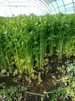 江苏省南通市通州区玻璃脆芹菜 50~55cm 大棚种植 0.5斤以下