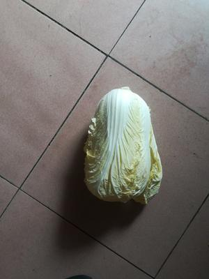 广东省深圳市龙岗区北京三号大白菜 3~6斤 毛菜