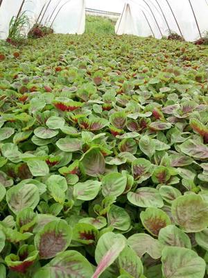 广西壮族自治区桂林市全州县红苋菜 20-25cm 紫红