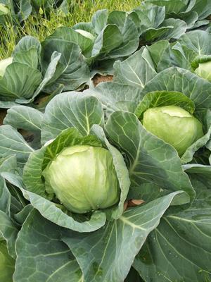 广东省惠州市博罗县卷心包菜 1.0~1.5斤