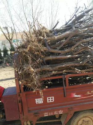山东省滨州市沾化区毛桃苗 1.5~2.0米