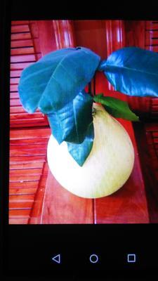 广东省东莞市东莞市蜜柚 2.5斤以上