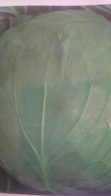 吉林省长春市德惠市绿甘蓝 2.0~2.5斤