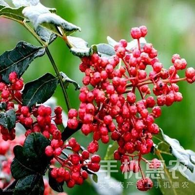 四川省阿坝藏族羌族自治州汶川县大红袍花椒苗