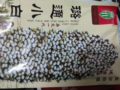 河北省石家庄市新华区杂交高粱种子小白人 种子