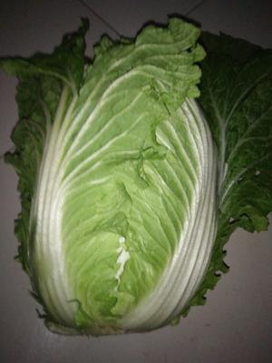 山东省潍坊市青州市菊锦春白菜 6~10斤 二毛菜