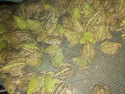江西省抚州市资溪县黑斑蛙