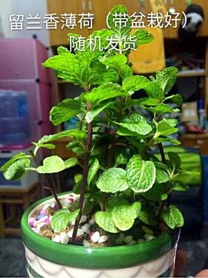重庆奉节县九层塔罗勒鱼香菜