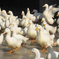 云南省红河哈尼族彝族自治州泸西县火鸭 统货 半圈养半散养 7-8斤