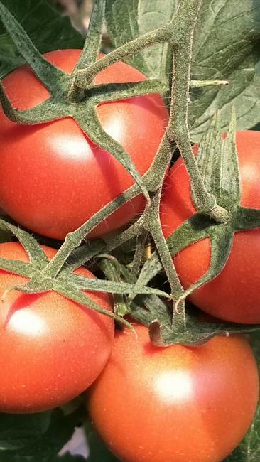 粉果番茄 不打冷 硬粉 弧二以上
