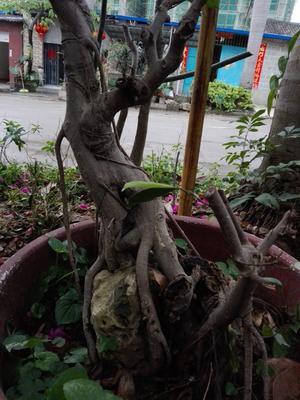 广西壮族自治区南宁市隆安县造型景观小叶榕桩头