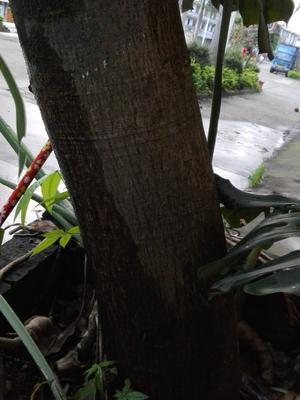 广西壮族自治区南宁市隆安县发财树