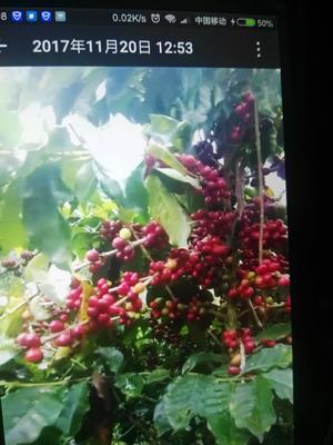 云南省普洱市孟连傣族拉祜族佤族自治县普洱小粒咖啡豆