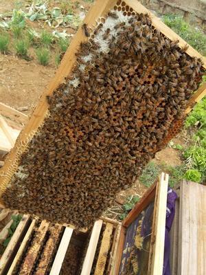 贵州省黔西南布依族苗族自治州兴仁县土蜂蜜 塑料瓶装 100% 2年以上