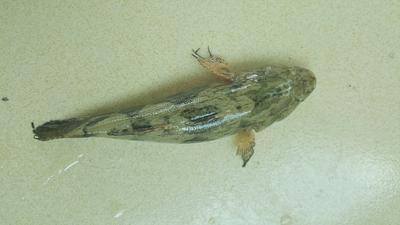 这是一张关于笋壳鱼苗的产品图片