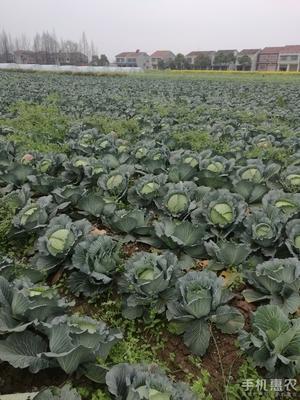 贵州省毕节市威宁彝族回族苗族自治县北京三号大白菜 3~6斤 毛菜