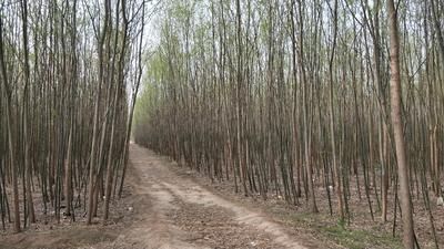 山东省菏泽市牡丹区美国竹柳