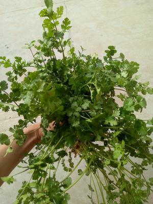 河南省商丘市虞城县大叶香菜 20~25cm