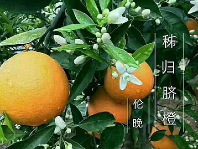 这是一张关于秭归脐橙 75 - 80mm 4-8两的产品图片