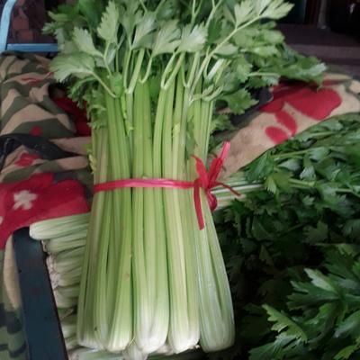 河南省郑州市中牟县法国皇后芹菜 55~60cm 大棚种植 0.5~1.0斤