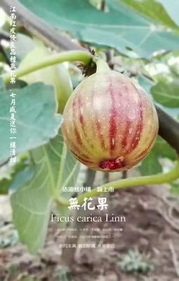江苏省镇江市丹徒区波姬红无花果 60-70克
