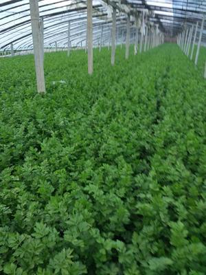 山东省济南市济阳县加州王芹菜 55~60cm 大棚种植 0.5斤以下
