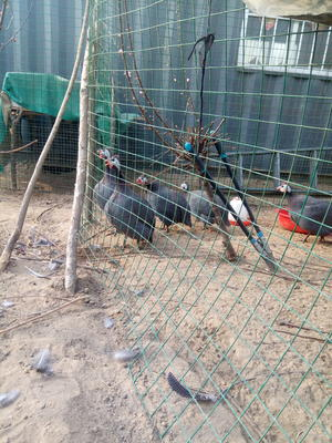 河北省保定市安国市灰色珍珠鸡 4-6斤