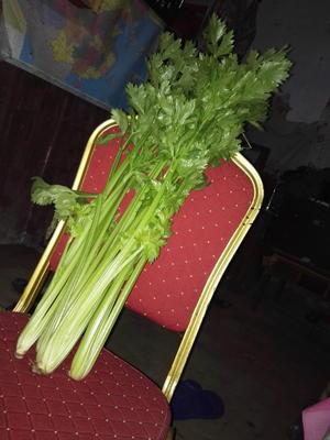 山东省菏泽市东明县法国皇后芹菜 50~55cm 大棚种植 0.5~1.0斤