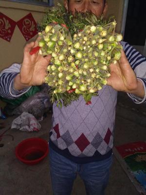 山东省泰安市新泰市红香椿芽 露天种植 散装 一级
