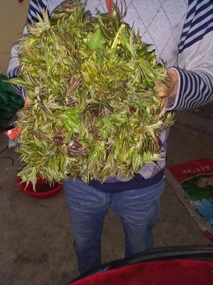 山东省泰安市新泰市红油香椿芽 露天种植 散装 一级