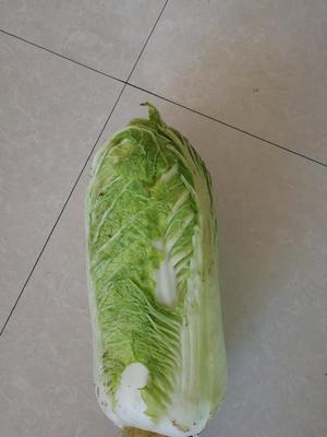 黑龙江省绥化市安达市北京三号大白菜 3~6斤 净菜
