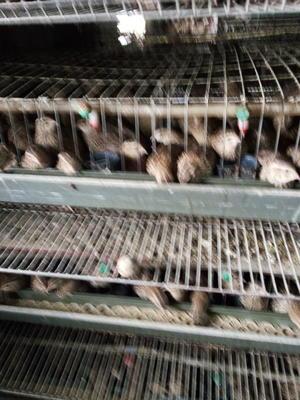 山东省淄博市周村区黄羽鹌鹑蛋 食用 散装