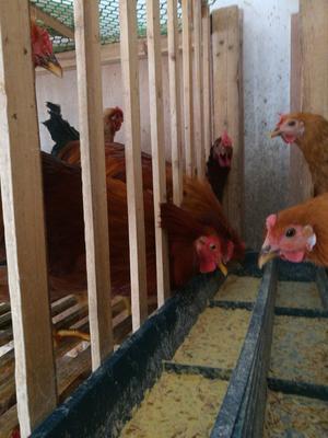 广西壮族自治区崇左市天等县鸡肉类 新鲜